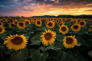 sonnenblumen fotografieren